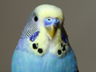 billy budgie - proudly owned by my sister and ivan :)